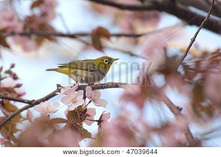 White-eye bird on blooming cherry on light blue background poster