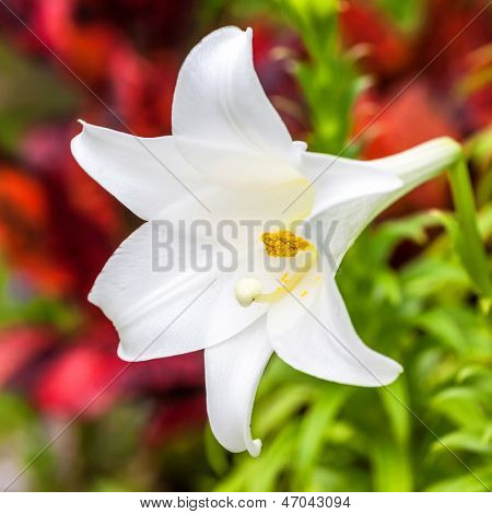 A beautiful Easter lily growing in a Bermuda garden.