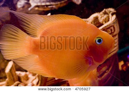 Beautiful Parrotfish In Aquarium