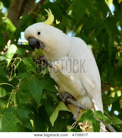 Eatingcockatoo6