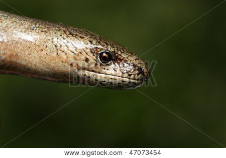 Male Slow Worm (Anguis fragilis)