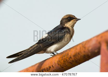 A Wire-tailed Swallow Perching