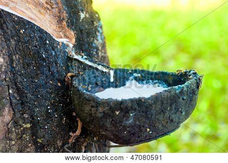 Rubber tree latex plant. Natural latex production in Thailand hevea plantation