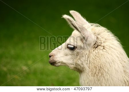 White, sad furry lama glama in zoo with long eyelashes on a green grass