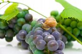 snail sitting on a bunch of grapes close-up. horizontal photo. poster
