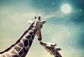 Two Giraffes mother and child in friendship or love theme image at twilight poster