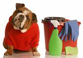 house training a puppy - english bulldog sitting beside bucket with cleaning products poster