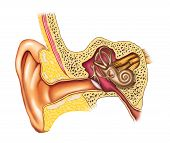 Illustration showing the interiors of an human ear. Digital illustration. poster