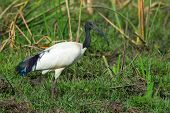 A Sacred Ibis standing in a Grassy Marsh poster