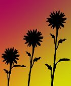 gradient background with silhouette of three sunflowers poster