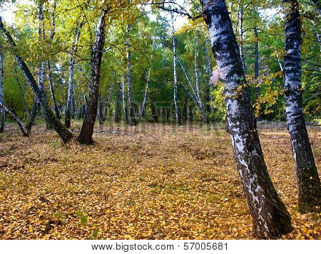 In The Autumn Birch Grove