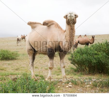 Herd of Bactrian camels in the Altai Mountains on the border with Mongolia poster