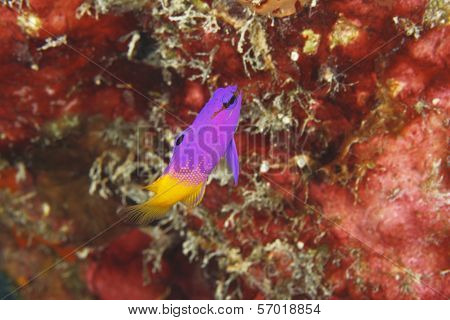 Fairy Basslet (Gramma loreto) on a Coral Reef - Bonaire poster