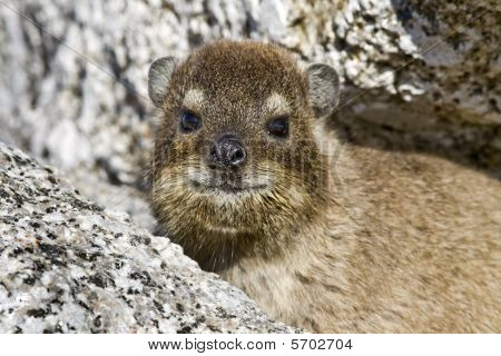 Rock dassie on Table Mountain, Cape Town, South Africa
