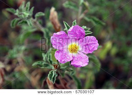 spring bloom pink flowers of cistus bushes poster