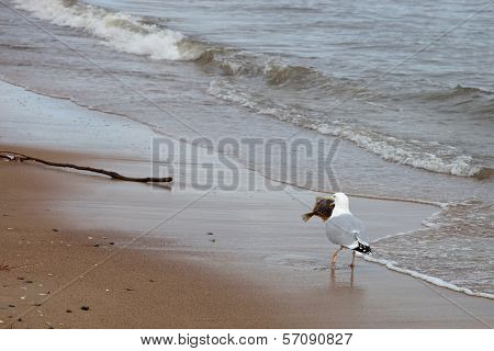 Seagull And Fish