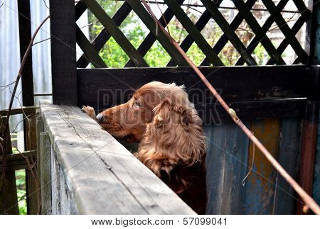 Cocker spaniel dog looking through the fence poster