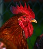 Rooster on traditional free range poultry farm poster