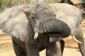 Elephant drinking with tusk in mouth. Ruaha National Park Tanzania Central Africa. poster