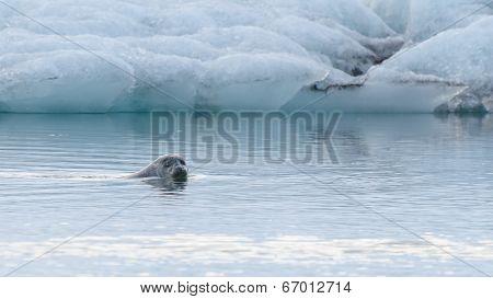 Seal swimming in Jokulsarlon Ice Lagoon