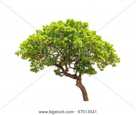Banyan Tree (Ficus annulata) tropical tree in the northeast of Thailand isolated on white background poster