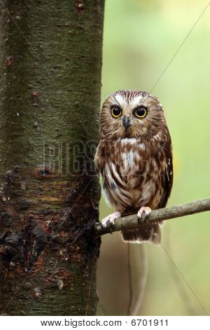Northern Saw-Whet Owl staring at the camera against a blurred background. poster