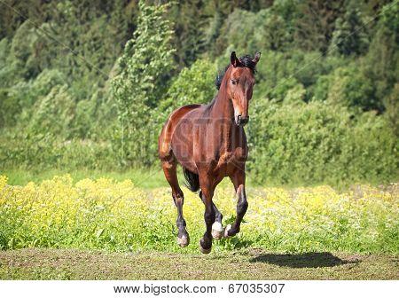 Trakehner Horse