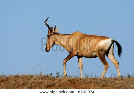 Red Hartebeest, South Africa