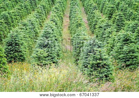 Christmas Trees Growing In Oregon's Willamette Valley