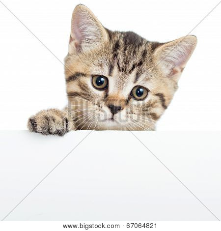 Cat Kitten Hanging Over Blank Poster Or Board,  Isolated On White