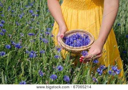 Girl In Yellow Dress Hands Pick Cornflower Herbs