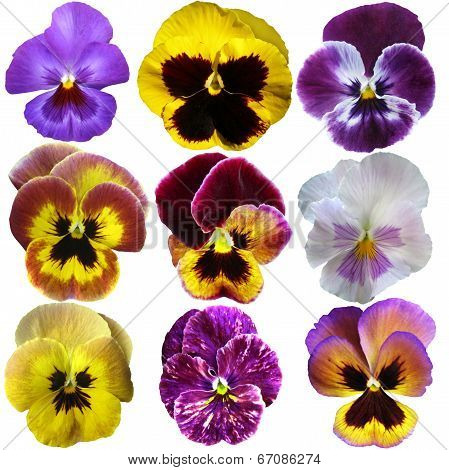 Pansies On White Background