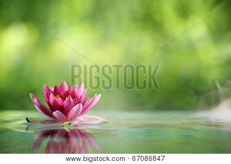 Water lily flowers blooming in pond