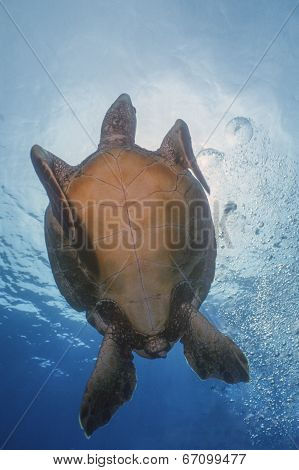 Green Sea Turtle - Underside View