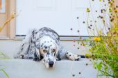 English setter is waiting on the steps by the front door. poster
