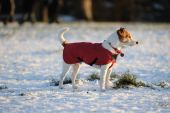 Parson Jack Russell in bright red winter coat looking into the setting sun on a snowy afternoon poster