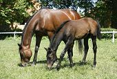 Thoroughbred mare and foal in pasture following mother. Foal with a mare on a summer pasture. poster
