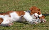 Adorable, tired Cavalier King Charles Spaniel puppy asleep on the grass poster