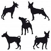 Five Miniature Pinscher black silhouettes poster