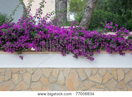 Bougainvillea wall background Mallorca style. Purple bougainvillea decorating a wall in Majorca, Spain. poster