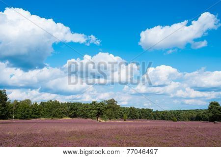 Landscape With Blue Sky, Clouds, Trees And And Heide Meadow