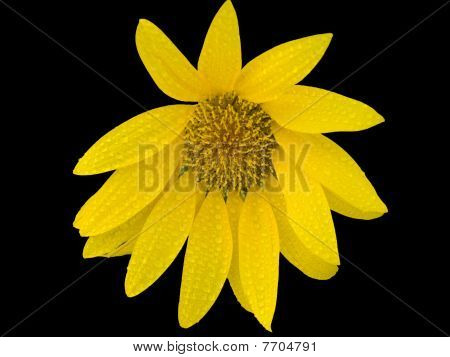 Isolated lone Sun flower