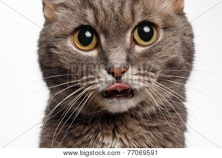 closeup of a gray cat with big round eyes licked