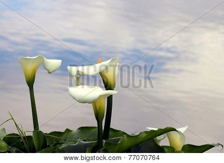 Arum Lilies (zantedeschia)