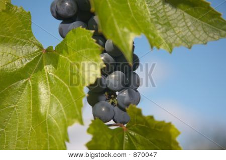 bunch of blue grape