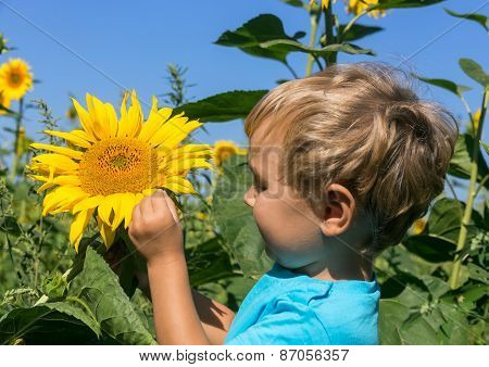 Inquisitive Child Considers Sunflower In The Field