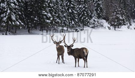Two elk in a winter scene