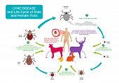 Life Cycle of Male and Female Tick bug with its common hosts and human with Lyme Disease which is prevalent in countries like Canada, UK, Russia, Austria, USA and more. Editable EPS10 vector and jpg illustration. poster