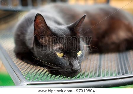 Havana Brown Cat Resting On Chair