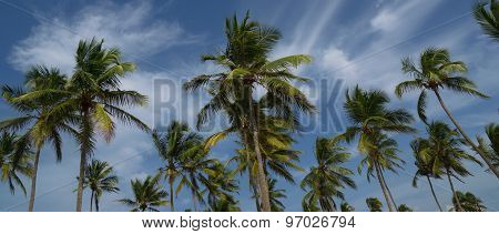 Coconut trees in the wind